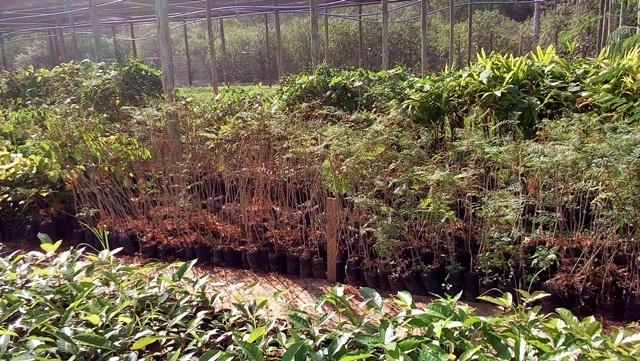 Viveiro com mudas produzidas pelos Payayás para reflorestamento (foto: Cristiane Passos)